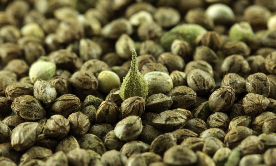 Desmiente Cofepris que vaya a comercializar semillas de mariguana