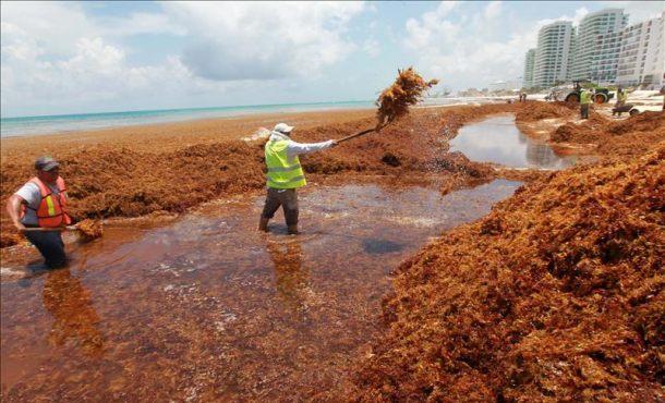 Nueva misión combatir el alga marina