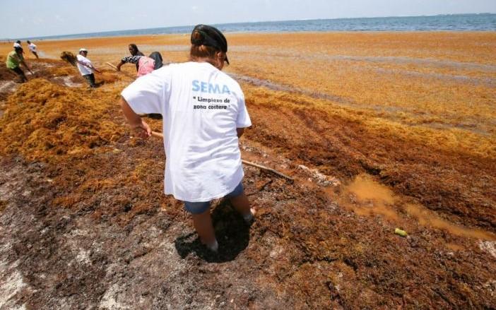 Sema retiró 200 mil toneladas  de sargazo este año