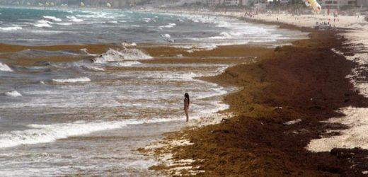 Lucha contra el sargazo requiere 500 millones de pesos en Quintana Roo