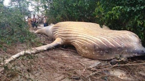 Aparece una ballena jorobada en la selva del Amazonas
