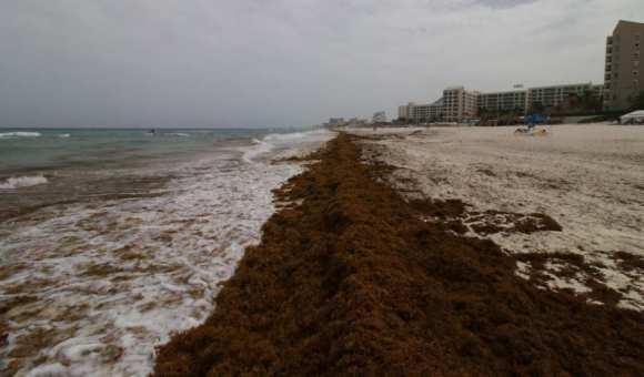 Varias playas son acaparadas por el sargazo