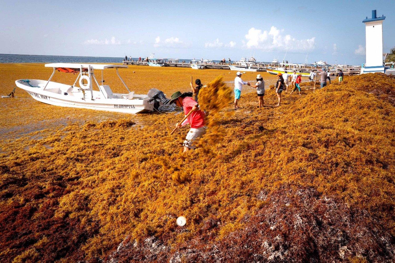 Combate al sargazo en Quintana Roo costará 400 mdp
