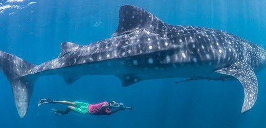 Sargazo afectaría temporada de Tiburón Ballena