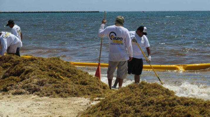 Le hacen 'frente' al sargazo en Quintana Roo