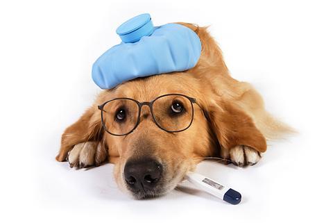 Descubren enfermedad de perros que puede contagiarse a humanos