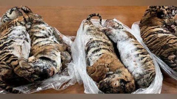 Descubren 7 tigres 'bebés' congelados dentro de un auto
