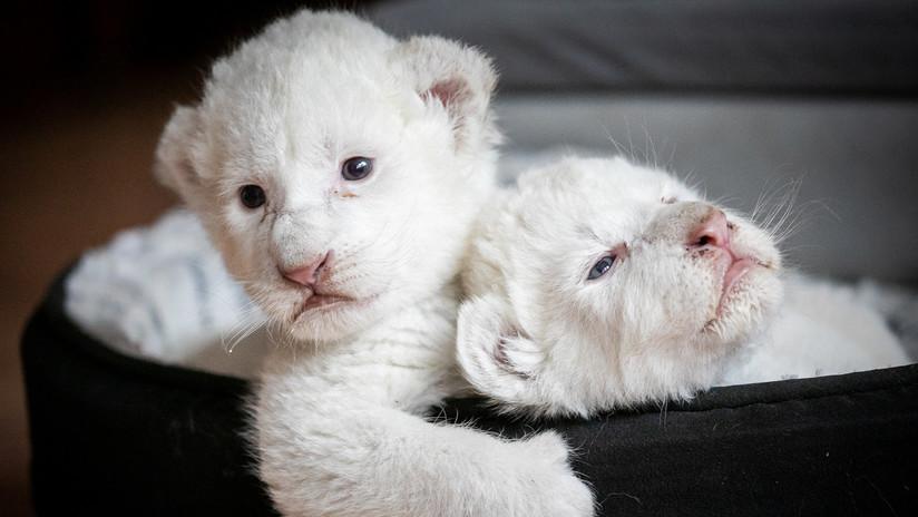 Nacen dos cachorros de león blanco en Francia