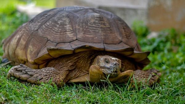 Muere la tortuga Alagba a los 344 años
