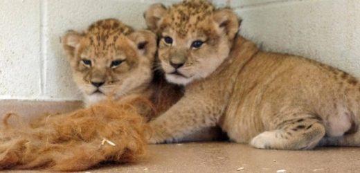 Rescata a dos cachorros de león que serían vendidos en Chalco
