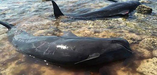 Hallan 7 ballenas muertas en playa de Indonesia
