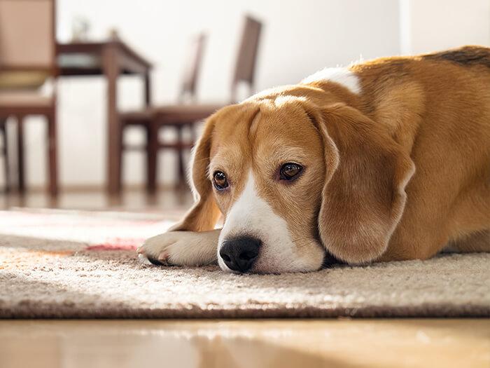Por esta importante razón es tan importante tener un perro en casa