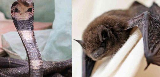 Murciélagos o serpientes, posibles portadores del coronavirus