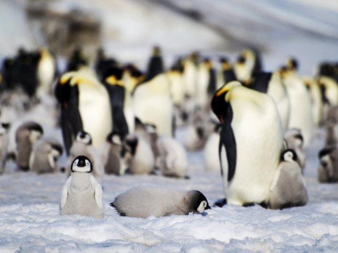 Reportan disminución de pingüinos en la Antártida