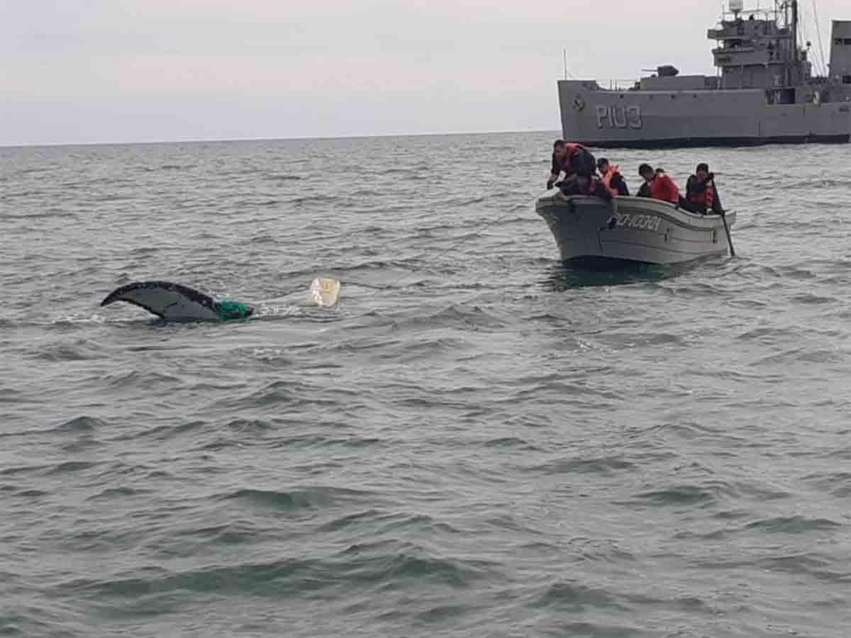 Liberan a ballena atrapada en San Felipe