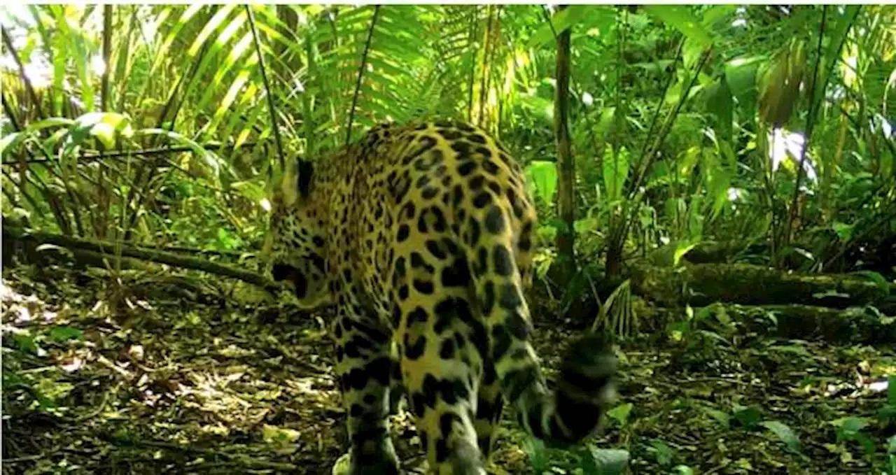 Inicia operación jaguar