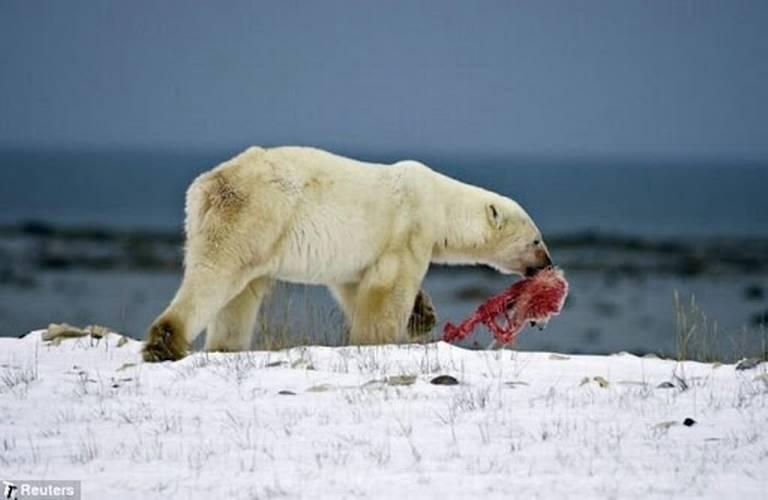 Osos polares se comen entre si por falta de alimento