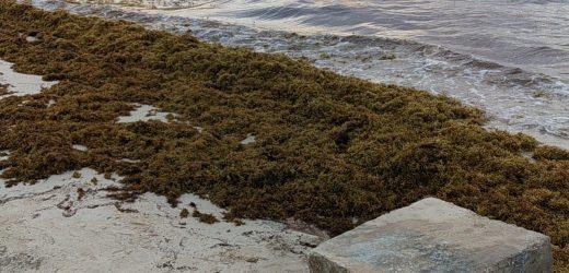 Declaran desiertas las licitaciones para recolección y contención del sargazo en Playa del Carmen