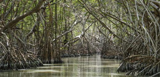 La conservación de manglares debe de ser una responsabilidad compartida