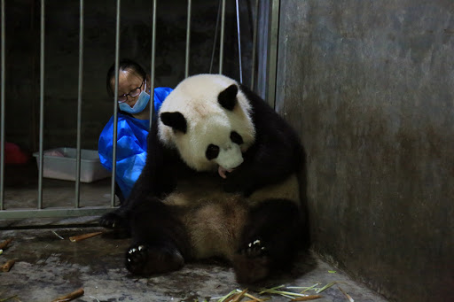 Nacen dos crías de oso panda en centro especializado de fauna en China