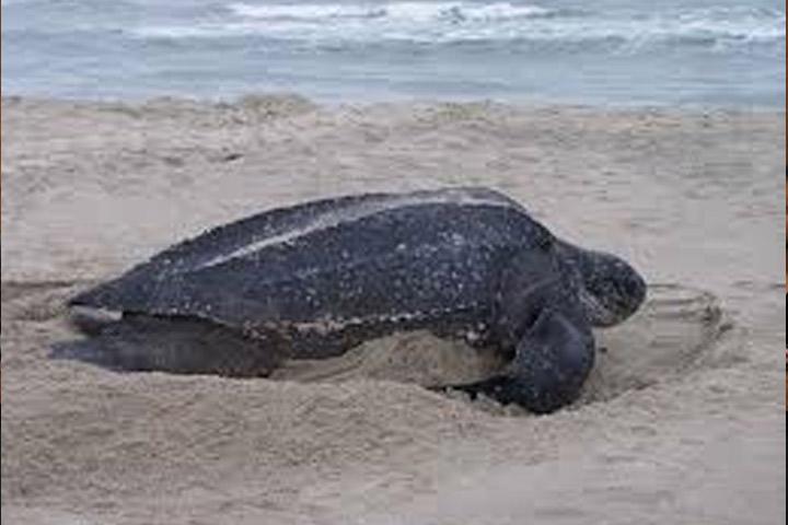 Animales en peligro de extinción pasean por las zonas urbanas de Cancún