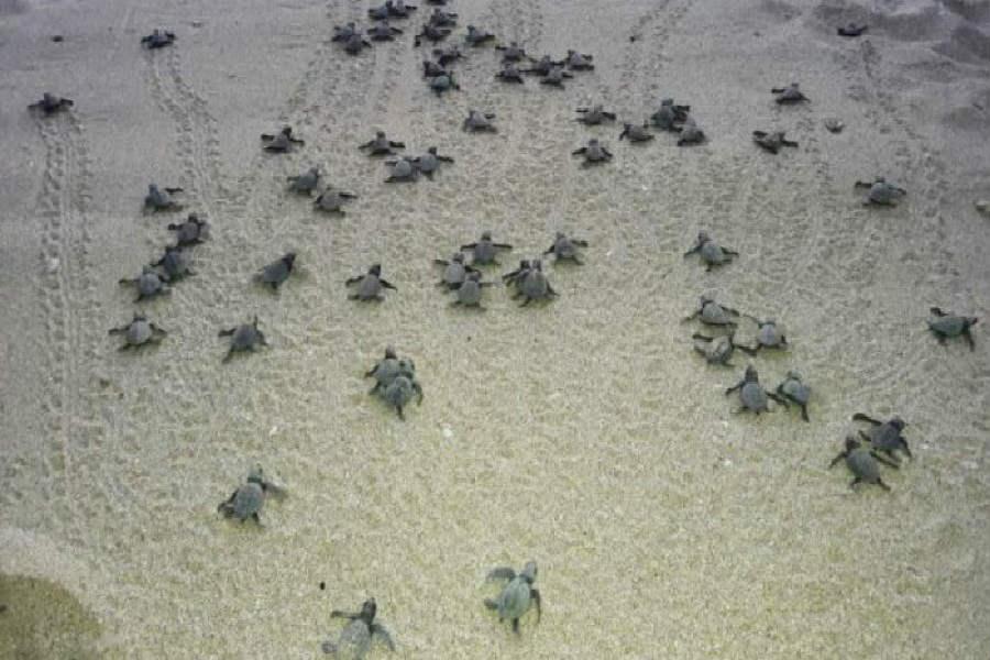 Rescata Profepa 13 mil tortugas en aduana del AICM